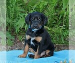 Bluetick Coonhound-Irish Setter Mix Puppy For Sale in KINZERS, PA, USA
