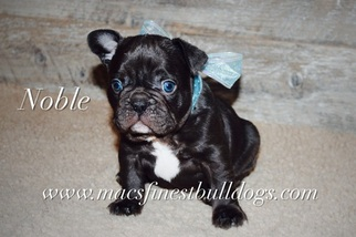 French Bulldog Puppy For Sale in VERNAL, UT, USA