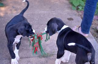 Great Dane Puppy For Sale in MARTINSVILLE, VA