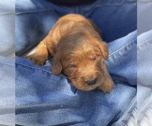 Goldendoodle Puppy for sale in N HIGHLANDS, CA, USA