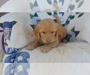 Golden Retriever Puppy for Sale in WESTCLIFFE, Colorado USA