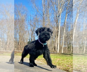 Schnauzer (Giant) Puppy for Sale in HENDERSON, North Carolina USA