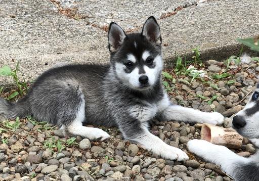 Gallery Of Photos For Ad Adn 84378 Photo 1 Alaskan Klee Kai Puppy