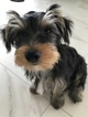 Yorkshire Terrier Puppy For Sale in DAYTONA BEACH, FL,