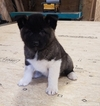 Akita Puppy For Sale in ARTHUR, IL, USA