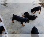 Small #37 Rottweiler