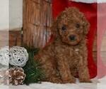 Small Cavapoo-Poodle (Miniature) Mix