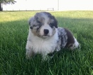 Australian Shepherd Puppy For Sale in ROBERTS, Illinois,