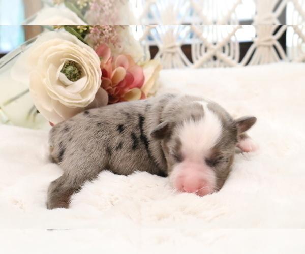Medium Photo #2 Australian Shepherd Puppy For Sale in STAFFORD, VA, USA