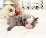 Small Photo #2 Australian Shepherd Puppy For Sale in STAFFORD, VA, USA