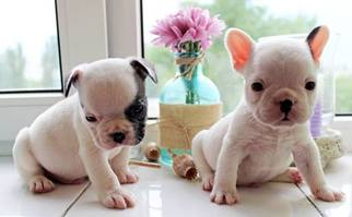View Ad French Bulldog Puppy For Sale Near New Jersey Edison Usa