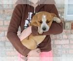 Small #4 Australian Cattle Dog-Boxer Mix