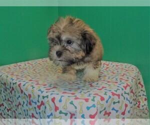 Shih-Poo Puppy for sale in PATERSON, NJ, USA