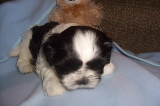 Shih Tzu Puppy For Sale in YELM, WA, USA