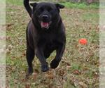 Small #317 Labrador Retriever