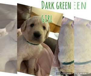 Double Doodle Puppy for sale in MUNFORDVILLE, KY, USA