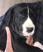 Great Dane Puppy For Sale in HOUGHTON LAKE, Michigan,