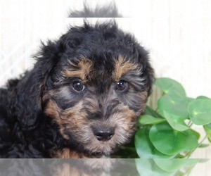 Aussie-Poo Puppy for sale in EL CAJON, CA, USA