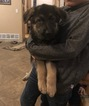 German Shepherd Dog Puppy For Sale in FALCON, CO, USA