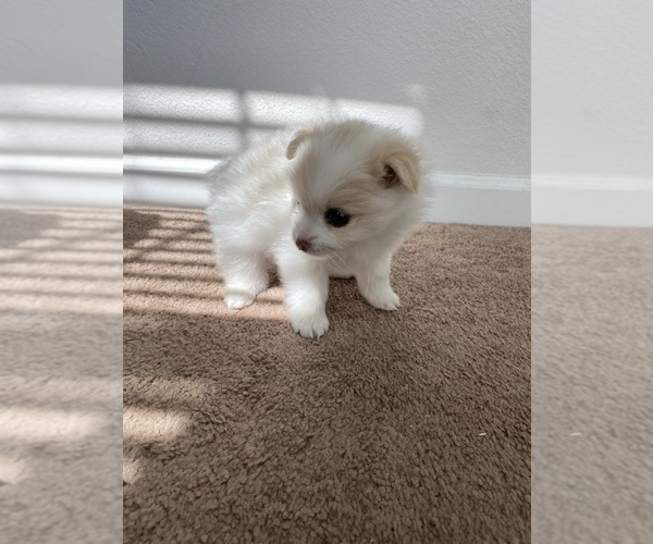 Full screen Photo #5 Pomeranian Puppy For Sale in SAN JOSE, CA, USA