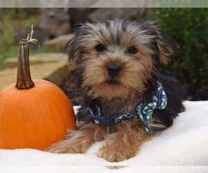Yorkshire Terrier Puppy for sale in COSHOCTON, OH, USA