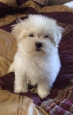 Maltese Puppy for sale in MARIETTA, GA, USA