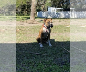 Boxer Puppy for sale in LITHIA, FL, USA