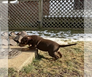 American Bully Puppy for sale in WALKERSVILLE, MD, USA