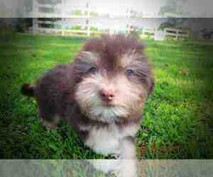 Havanese Puppy for sale in MARSHFIELD, MO, USA