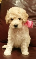Australian Labradoodle Puppy For Sale in FRISCO, TX