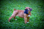 Boxer Puppy For Sale in WAYNE, WV,