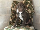 Dalmadoodle Puppy For Sale in EAST EARL, PA, USA