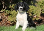 English Springer Spaniel Puppy For Sale in MOUNT JOY, PA, USA