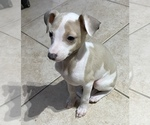 Small #4 Italian Greyhound