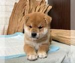 Small #8 Shiba Inu