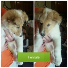 Collie Puppy For Sale in TERRY, MS