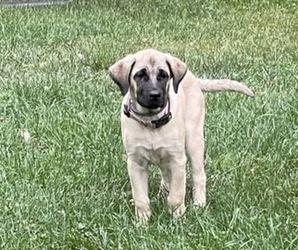 Kangal Dog Dog for Adoption in CHELSEA, Michigan USA