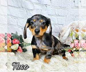 Dachshund Puppy for Sale in MIAMI, Florida USA