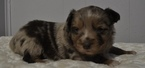 Miniature Australian Shepherd Puppy For Sale in ATWOOD, IL, USA