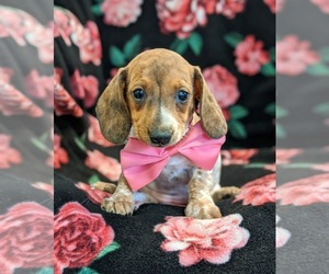 Dachshund Puppy for sale in NEW HOLLAND, PA, USA