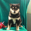 Imo-Inu Puppy For Sale in GAP, PA, USA