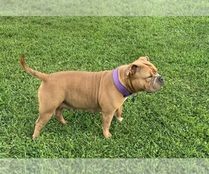 Mother of the American Bully puppies born on 09/07/2020