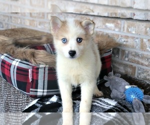 Puppyfinder Com Pomsky Puppies Puppies For Sale Near Me In