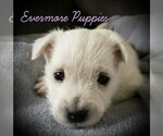 Puppy 0 West Highland White Terrier