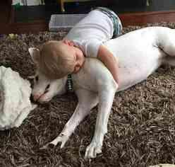 Tito  Boxer Lab Retriever  Dog to Adopti in Kirkl