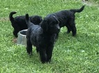Goldendoodle Puppy For Sale in DUANESBURG, New York,