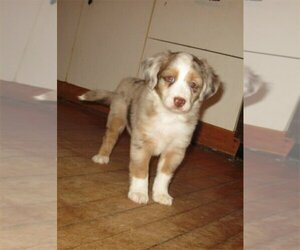 Australian Shepherd Puppy for Sale in CAMPBELL, Minnesota USA