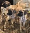 Beautiful English mastiff puppies