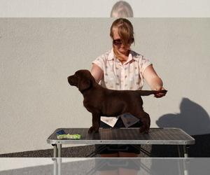 Labrador Retriever Puppy for sale in Kyiv, Kyiv City, Ukraine