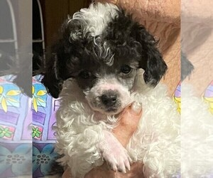 Poodle (Toy) Puppy for Sale in BROWNSVILLE, Kentucky USA